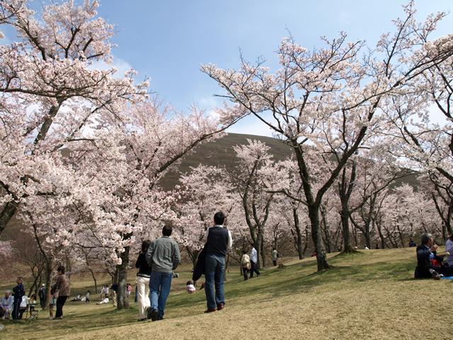 一年中桜が咲くさくらの里