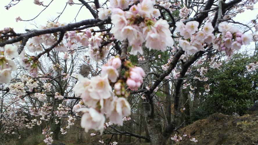 伊豆高原桜まつり(伊東市役所より)