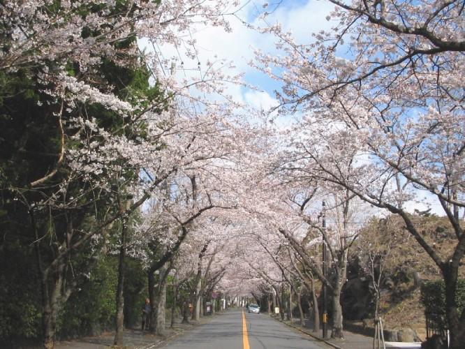 伊東市【桜開花】情報